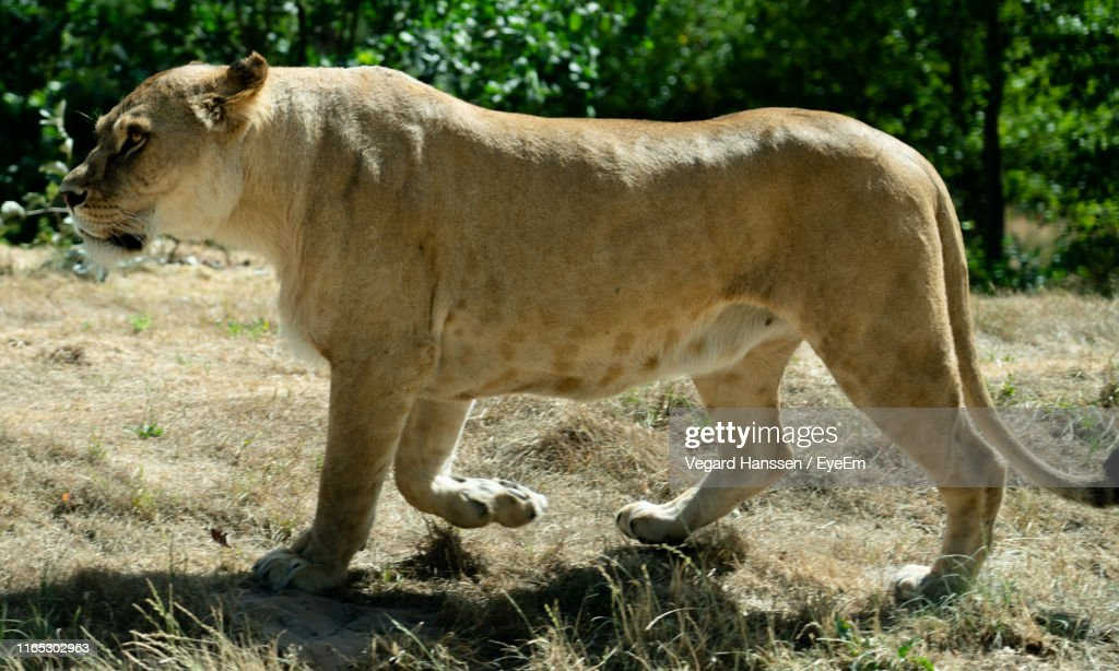 Side View Of Lioness Walking On Land : Stock Photo