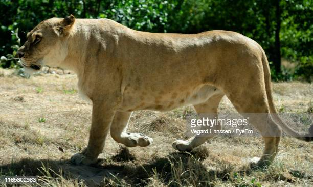 side view of lioness walking on land - vegard hanssen stock pictures, royalty-free photos & images