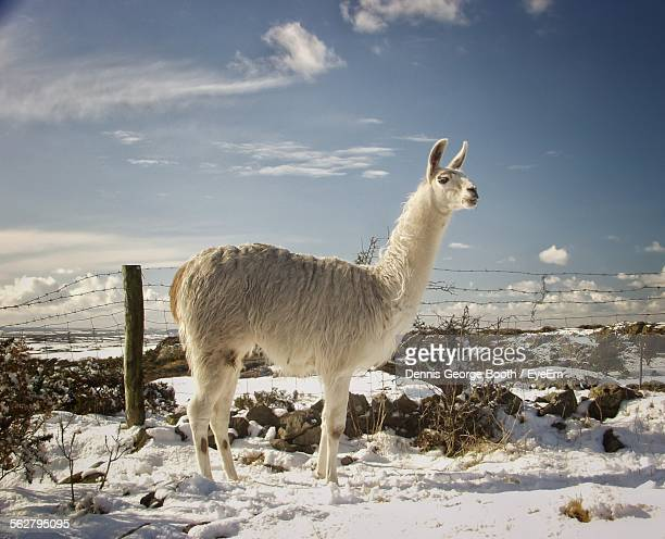 side view of llama standing on snow covered field against sky - lama stock pictures, royalty-free photos & images
