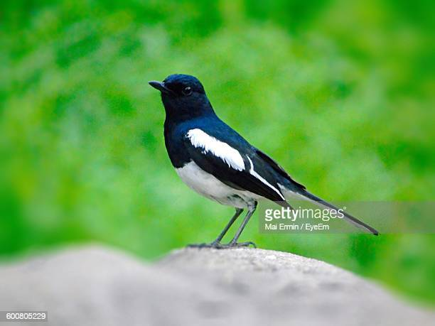 Side View Of Magpie Perching On Rock