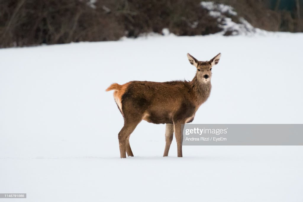 Side View Of Mammal Standing On Snow Covered Land : Foto stock