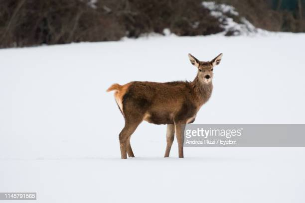 side view of mammal standing on snow covered land - andrea rizzi fotografías e imágenes de stock