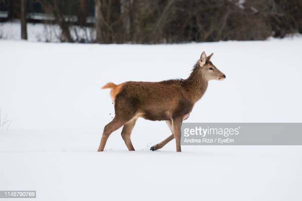 side view of mammal walking on snow covered land - andrea rizzi fotografías e imágenes de stock