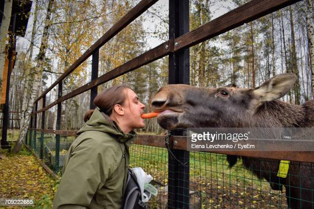 Side View Of Man Eating Carrot With Moose By Fence