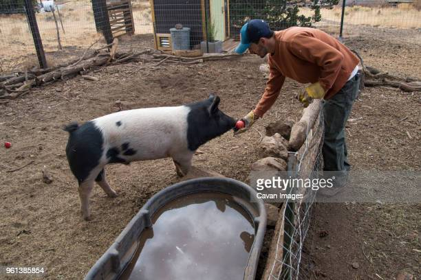 side view of man feeding tomato to pig in animal pen - pigs trough stock pictures, royalty-free photos & images