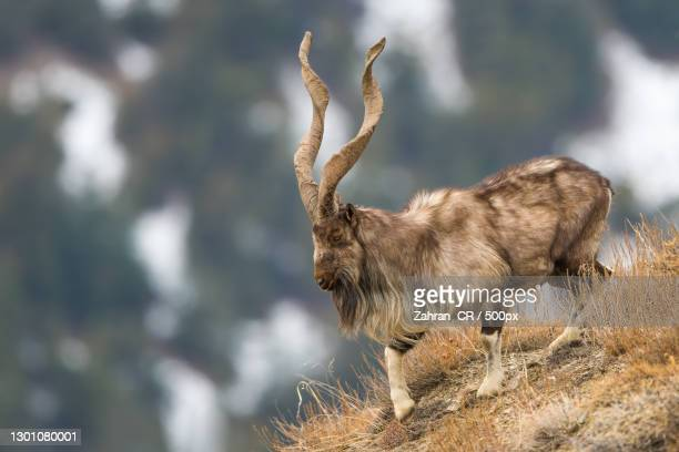 side view of markhor walking on mountainside,chitral gol national park,pakistan - images stock pictures, royalty-free photos & images