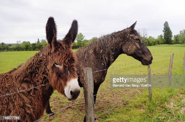 side view of messy donkey and horse standing by fence on grassy field - donkey stock pictures, royalty-free photos & images