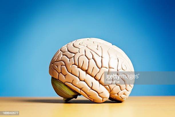 side view of model brain on blue - medulla oblongata stock photos and pictures