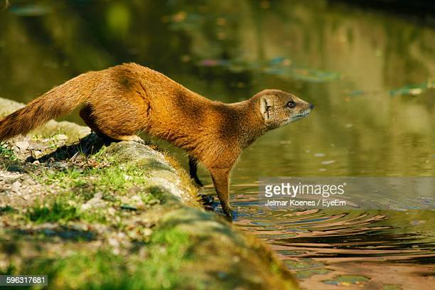 side view of mongoose near river - mongoose stock photos and pictures