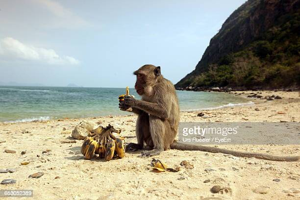 Side View Of Monkey Looking Away While Eating Banana On Beach