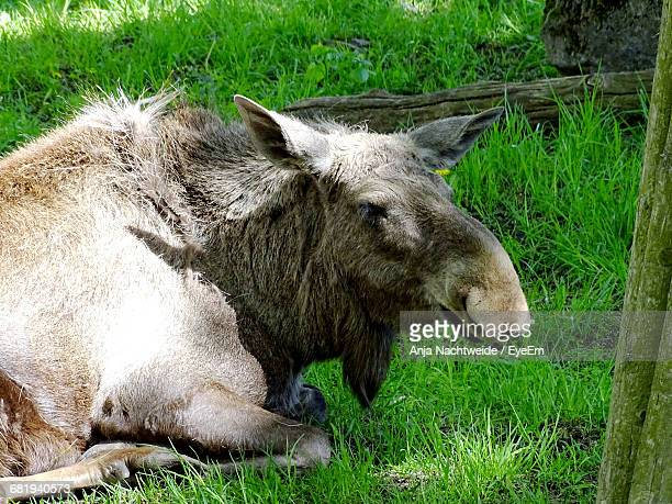 Side View Of Moose Sitting On Grassy Field