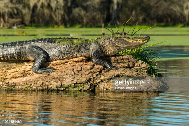side view of mossy alligator on driftwood in lake martin - cypress swamp stock photos and pictures