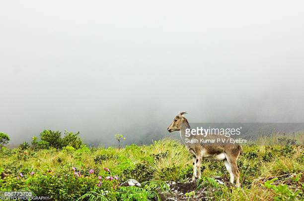 Side View Of Mountain Goat On Hill During Foggy Weather