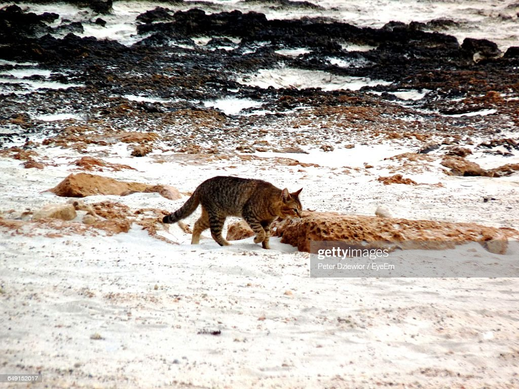 Side View Of Mountain Lion Walking On Snow High-Res Stock ... - photo#21
