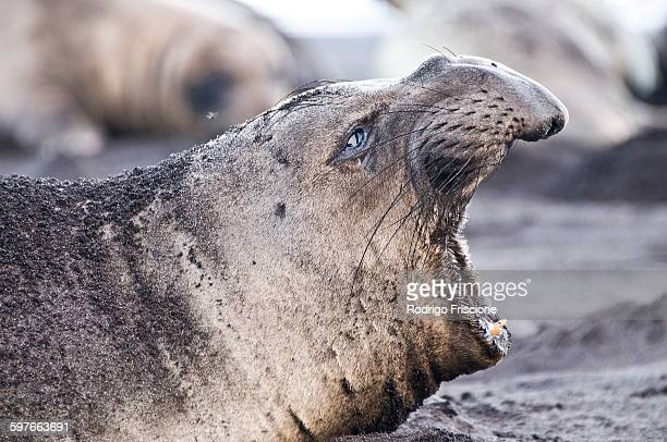 Side view of northern elephant seal calling on beach at Guadalupe Island, Mexico