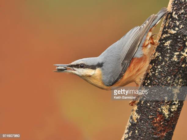 side view of nuthatch eating seed, burnley, lancashire, uk - swallow bird stock pictures, royalty-free photos & images