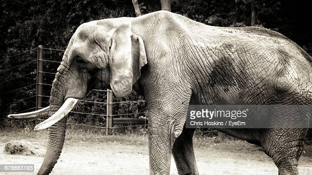 Side View Of Old Elephant