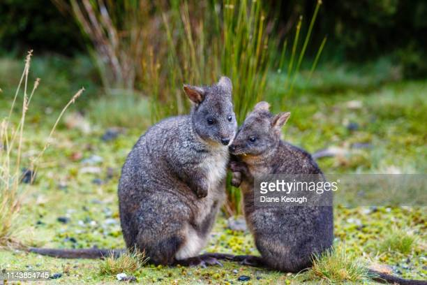side view of pademelon wallaby baby with her mum sitting on a grassy field in tasmania in autumn. the baby has her nose nuzzled not there mums neck. there are tufts of long grass behind them. - long neck animals stock pictures, royalty-free photos & images