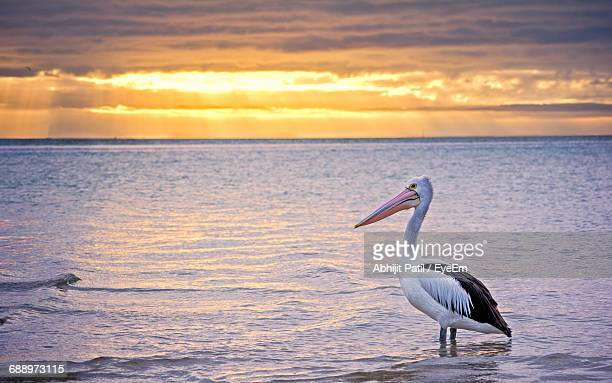 Side View Of Pelican In Sea Against Sky During Sunset