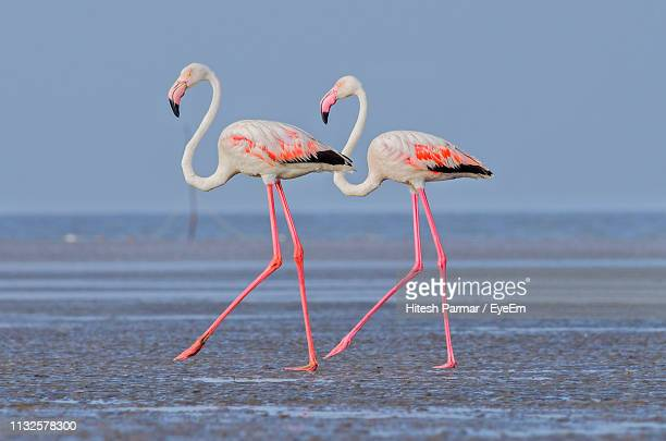 side view of pelicans at beach against clear sky - greater flamingo stock photos and pictures