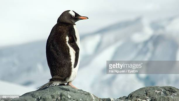 Side View Of Penguin On Rock Against Snowcapped Mountain