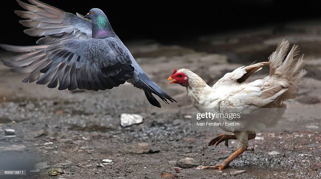 side view of pigeon and chicken ストックフォト getty images