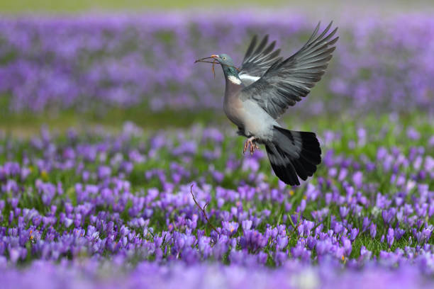 Side view of pigeon flying amidst lavender flowers,Husum,Germany
