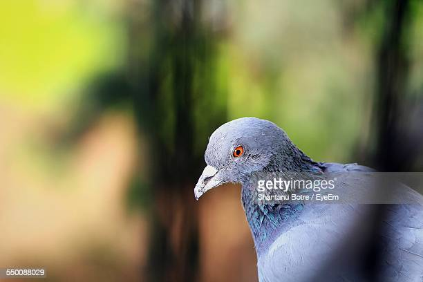 Side View Of Pigeon Outdoors