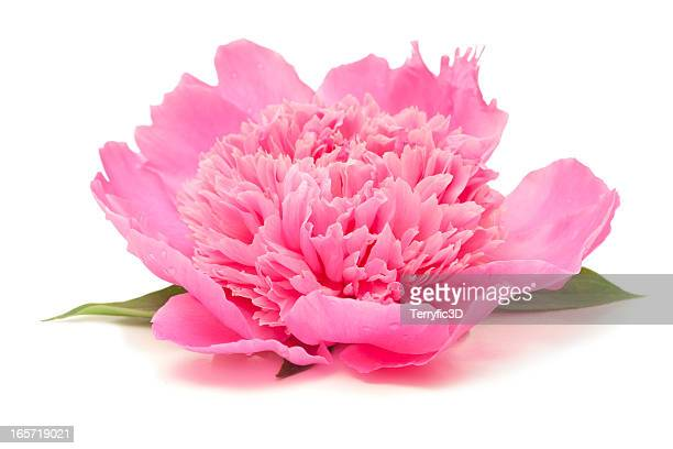 Side View of Pink Peony Flower Isolated on White