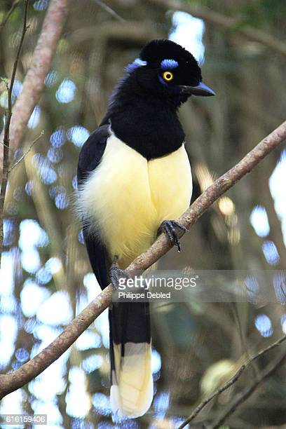 Side view of Plush-crested Jay on the viewing platform to the Devil's Throat, Iguazu Falls, Province of Misiones, Argentina