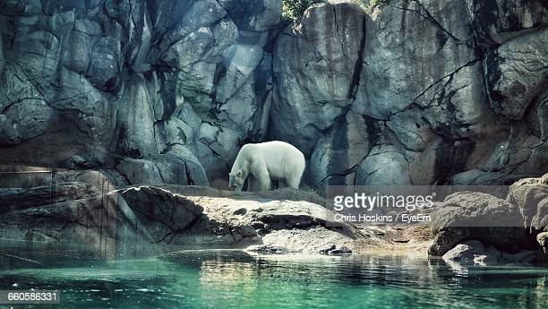 Side View Of Polar Bear Standing On Rocks