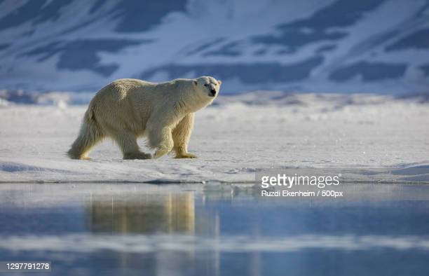 side view of polar bear walking on snow-covered land - svalbard and jan mayen stock pictures, royalty-free photos & images