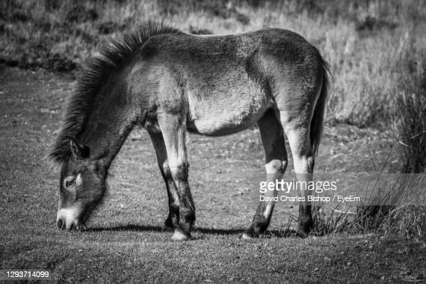 side view of pony grazing on exmoor national park - ポーロック ストックフォトと画像