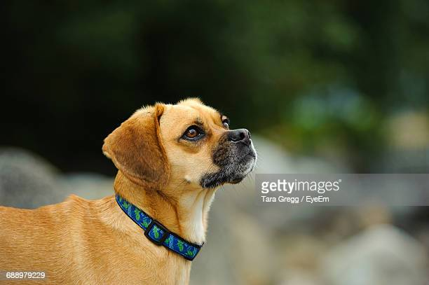 side view of puggle - puggle stock pictures, royalty-free photos & images