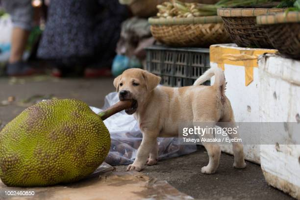 side view of puppy biting jackfruit stem at market - jackfruit stock photos and pictures