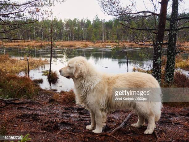 side view of purebred maremma sheepdog standing by lake,paimion luontopolku,finland - pastore maremmano foto e immagini stock