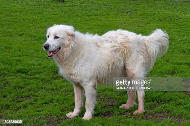 side view of purebred maremma sheepdog standing on grassy field,italia,italy - pastore maremmano foto e immagini stock