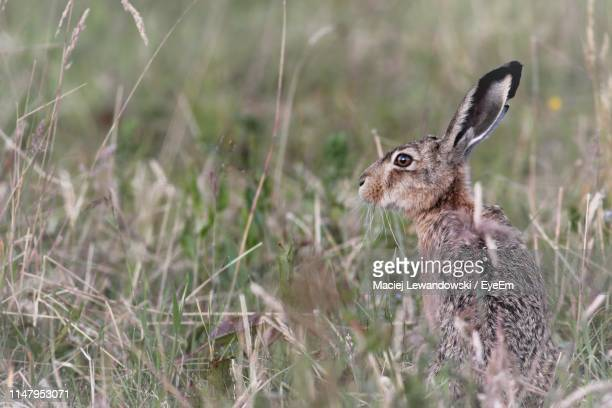side view of rabbit on grass - lewandowski stock photos and pictures