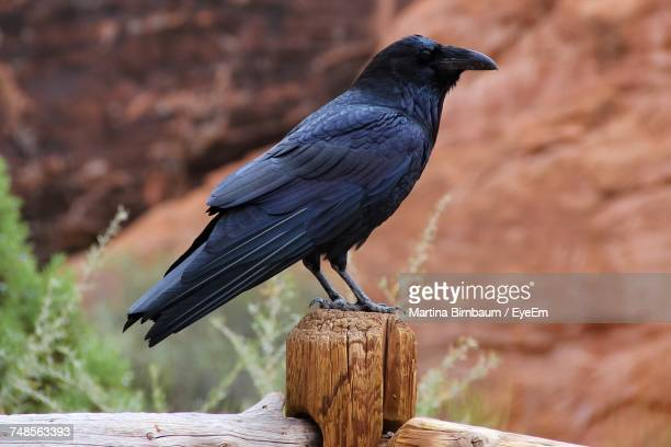 side view of raven perching on wooden fence against rocks - ravens stock photos and pictures