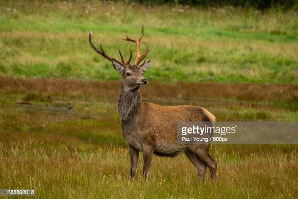 side view of red deer - animal standing on field,glencoe,ballachulish,united kingdom,uk - scottish highlands stock pictures, royalty-free photos & images