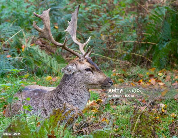 side view of red deer sitting on field,dunham massey,united kingdom,uk - autumn stock pictures, royalty-free photos & images
