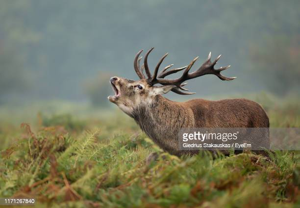 side view of red deer standing by plants on land - animal call stock pictures, royalty-free photos & images