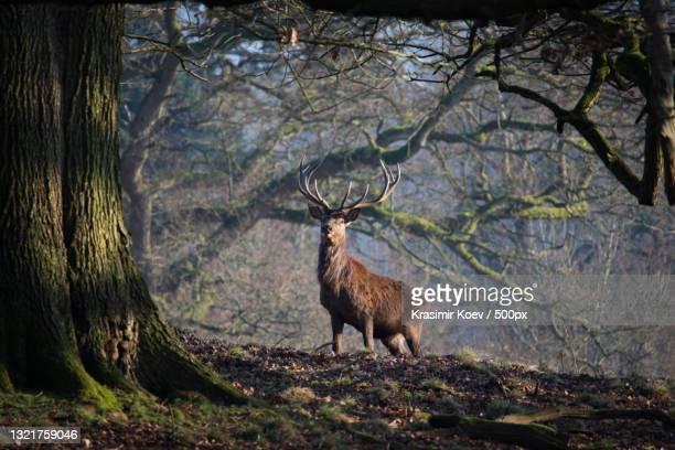 side view of red deer standing in forest,welshpool,united kingdom,uk - ウェルシュプール ストックフォトと画像