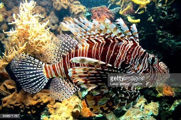 Side View Of Red Lionfish Swimming Underwater