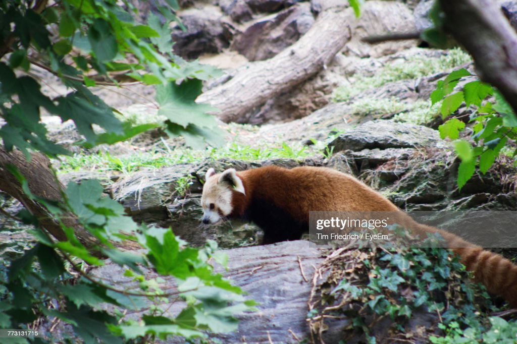 Side View Of Red Panda On Rock : Photo