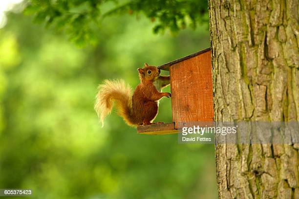 Side view of red squirrel (Sciurus vulgaris) reaching into feeder attached to tree trunk