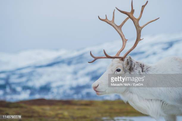 side view of reindeer standing on mountain against clear sky during winter - rentier stock-fotos und bilder