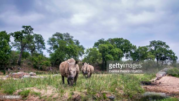side view of rhinoceros standing on field - kruger national park stock pictures, royalty-free photos & images