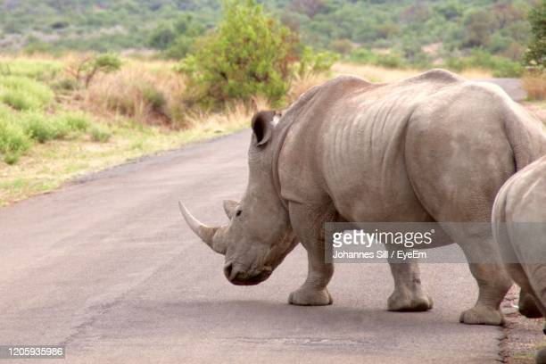 side view of rhinoceros walking on road - animal crossing stock pictures, royalty-free photos & images