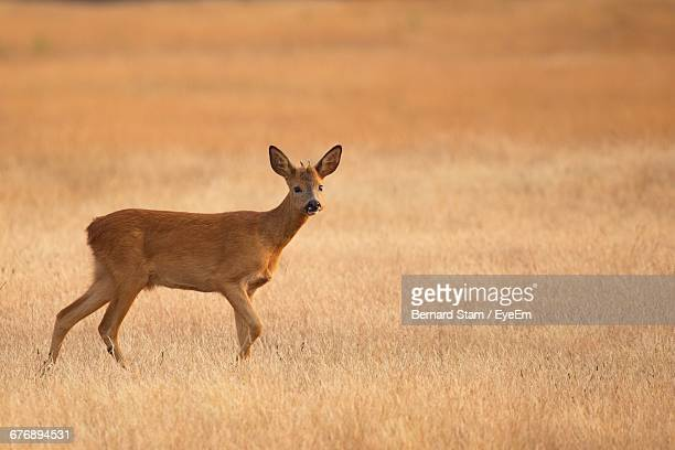 side view of roe deer on grassy field - chevreuil photos et images de collection